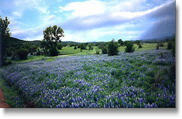 Picture of Bluebonnet Flowers growing in a pasture.